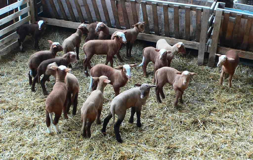 agneaux-bergerie ferme dagobeert