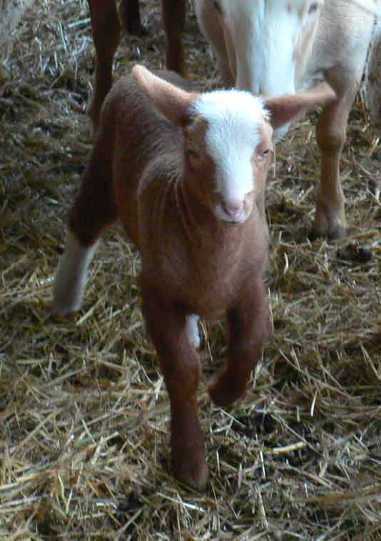 agneau ferme dagobert